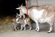 トカラヤギの赤ちゃん、狭山の動物園で2頭誕生!!すくすく育つ