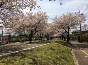 2014狭山市内の桜