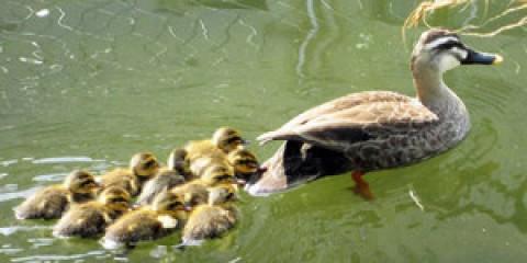 狭山の小学校中庭の池にカルガモひな9羽  3年連続誕生