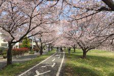 800m続く桜のトンネルを自転車で!