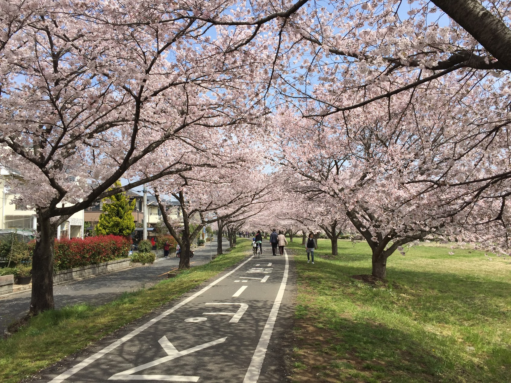 2016桜のトンネル柏原