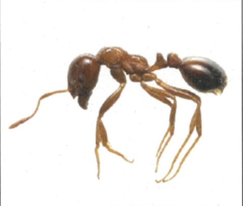 毒をもつ特定外来生物「ヒアリ」狭山市でも発見。物流の発展とその陰。